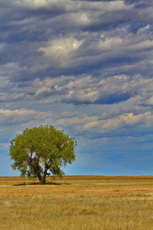 Lone tree against blue sky filled with clouds at Rocky Mountain Arsenal National Wildlife Refuge in Denver, Colorado.  Vertical photograph with copy space.