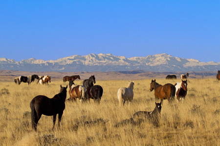 Wild horse herd in tranquil scene with watchful leader in McCullough Wild Horse Management Area near Cody, Wyoming.