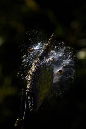 Ethereal milkweed pod seeds against black bacground.  Location is Rocky Mountain Arsenal National Wildlife Refuge near Denver, Colorado. Sole host plant for Monarch butterflies. 스톡 콘텐츠