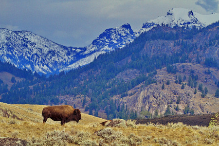 Single bison stands against backdrop of mountains on Grand Loop Road of Yellowstone National Park in Wyoming