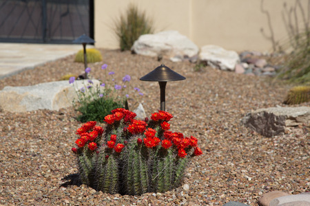 Sunlit walled Southwest home landscaping has bright red blooms of hedgehog cactus, stucco walls, iron gate, accent rocks, garden lights, and gravel. Location is Tucson, Arizona.