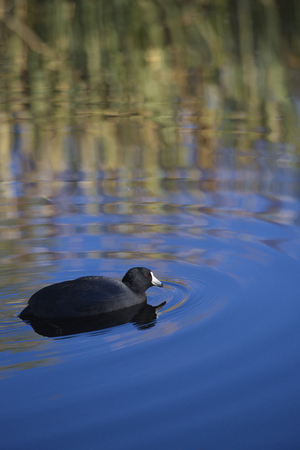 Vertical photograph with copy space of an American Coot paddling and creating ripples in blue water of Sweetwater Wetlands in Tucson, Arizona.
