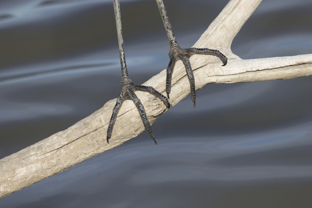 Suggestive background is close up of just the sharp claws and dark feet of Great Blue Heron.