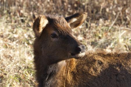 Elk calf turns its head while munching dry grass in Lone Elk Park in Fenton in St Louis County, Missouri Reklamní fotografie