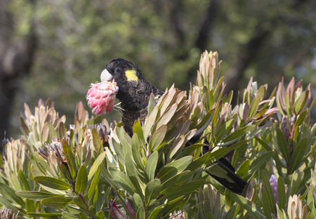Attractive yellow tailed black cockatoo feasts on natural blossom on Bruny Island in Tasmania, Australia;