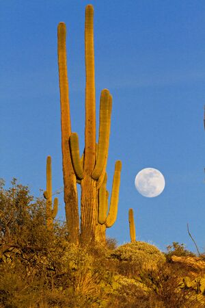 Full moon rising over saguaro cactus ridge in gold light along Catalina Highway of Mt. Lemmon in Arizona. Фото со стока