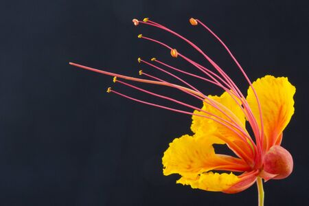Elegance seen in long tendrils and rich orange red petals of Mexican Red Bird of Paradise against black background with copy space on left Stock Photo