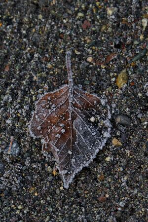 Solitary leaf with its red and gray hues touched with frost lays on raked gravel background
