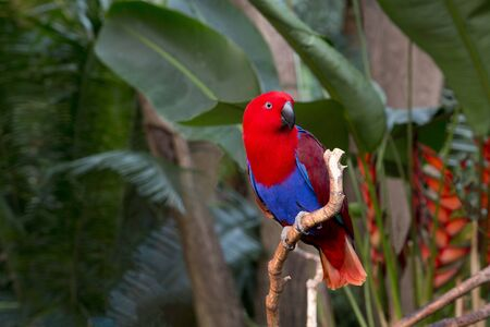 Eclectus parrot, also known as the King Parrot, turns its head while perched at Bloedel Conservatory in British Columbia