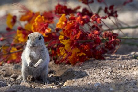 Alert ground squirrel stands in winsome posture before fallen flowers on desert ground in Arizona in American Southwest 스톡 콘텐츠
