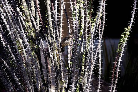 Cactus wren hides in the camouflage and protective thorns of mature ocotillo in Arizona