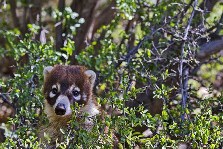 Cute, distinctively marked face of coatimundi peers from desert shrub in Arizona