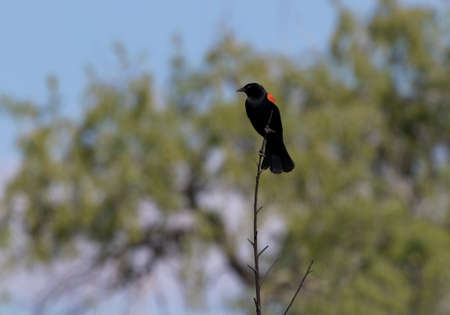 Elegant red-winged blackbird on solitary perch at Sweetwater Wetlands, a reclaimed water parkland, in Tucson, Arizona.
