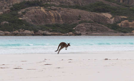 Beautiful blue water, white sand beach, and rocky slopes of Lucky Bay in Western Australia are backdrop for leaping kangaroo