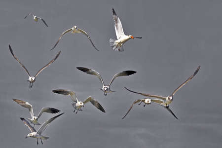 Airborne frolic in flock of Laughing Gulls over Laguna Madre Bay of Gulf of Mexico at South Padre Island, Texas