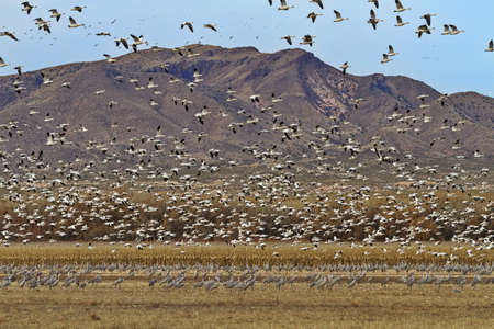 Natural New Mexico landscape showcases avian combination of flock of snow geese in flight and mass of sandhill cranes in field below against background of mountains and sky.