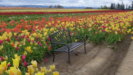 bench on tulip field 스톡 콘텐츠