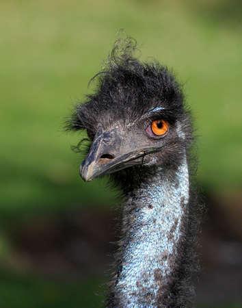 dromaius novaehollandiae: El Emu