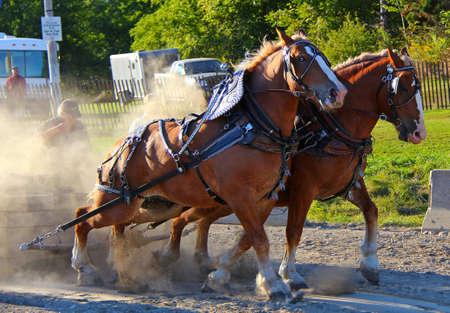draft horse: Draft pair pulling heavy weights Stock Photo