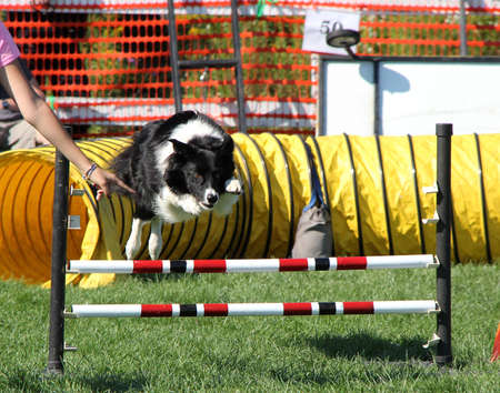 Dog during agility competition Stock fotó - 17097087
