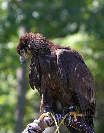 Juvenile Bald Eagle Reklamní fotografie