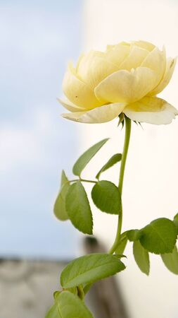 florid: Roses yellow nature flowers sky