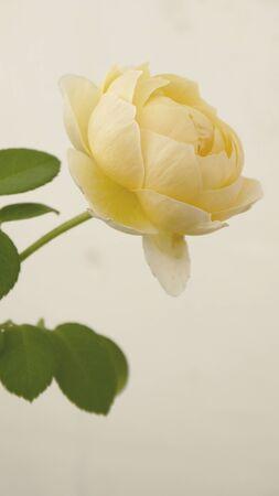 florid: Roses yellowCharlotte