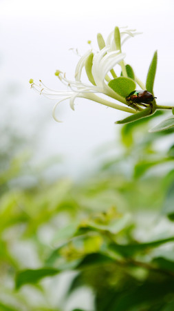 fragrant: Honeysuckle fragrant medicinal plants horticulture background material beetles