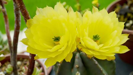 Echinocereus subinermis droughttolerant plants cactus flowers nature plants gardening photo
