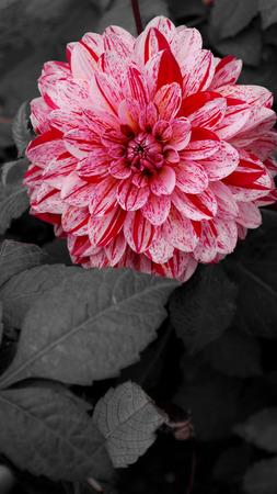 color in: Color Enfoque en las flores de la dalia
