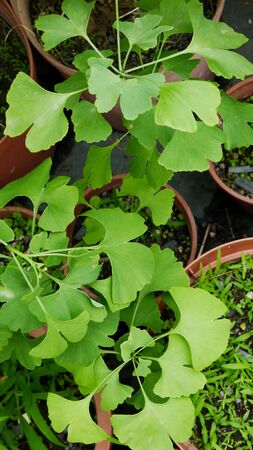 longevity drugs: Ginkgo medicinal plants natural green plants seeds leaves
