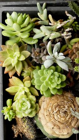 hobbies: Cactus Succulents succulent plants hobbies gardening