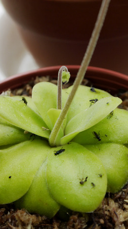 insectivorous plants: Pinguicula moranensis carnivorous plants Insects