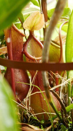 carnivorous: Pitcher plants carnivorous plants gardening Stock Photo