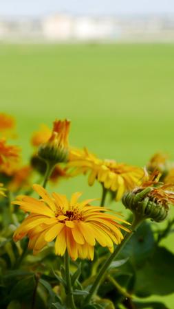 edible: Calendula officinalis edible plants gardening Stock Photo
