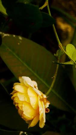 florid: Yellow Rose Gardening