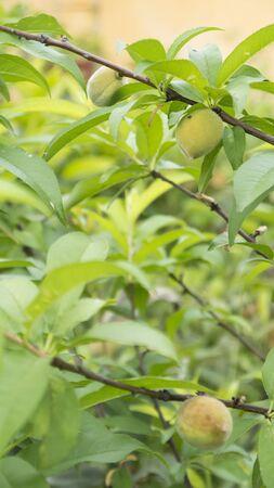 arbres fruitier: Arbres fruitiers Peach de fruits m�rs organique