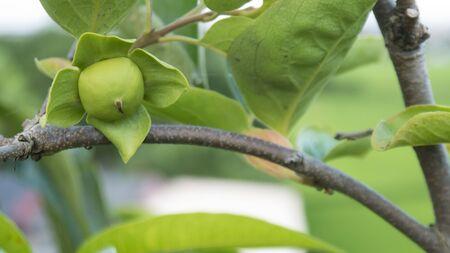 astringent: Persimmon fruit organic agriculture