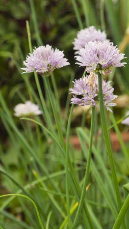cebollines: ingredientes horticultura cebolletas Especias