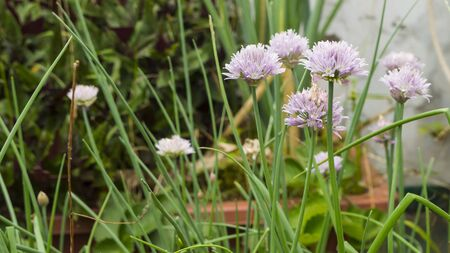 horticulture: chives Spices horticulture ingredients Stock Photo