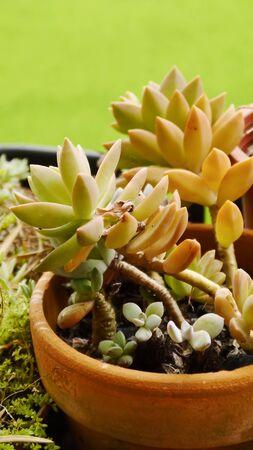 hobbies: Succulents succulent plants hobbies gardening Green background Stock Photo