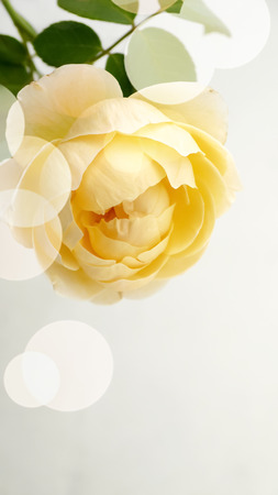 florid: Yellow roses fragrant plants white background beautiful Dot