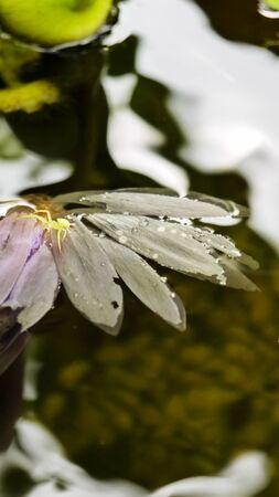 flower spider: Lotus lotus flower Spider