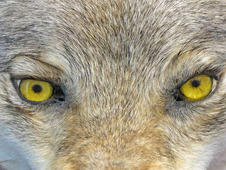 lobo feroz: se centran en el centro. ojos de lobo amarillo. concepto de peligrosidad de animales silvestres Foto de archivo