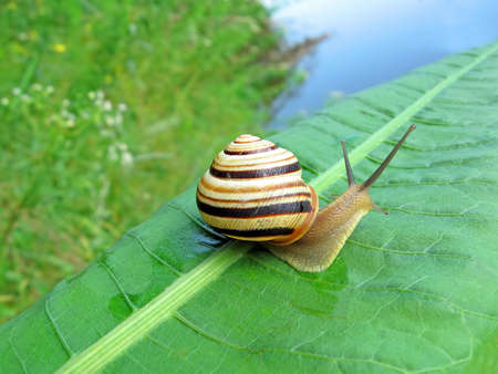 gastropoda: focus on center. one color snail (gastropoda mollusc) on green leaf, nature details Stock Photo
