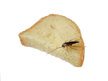 one brown cockroach with moustache on bread, nature details photo