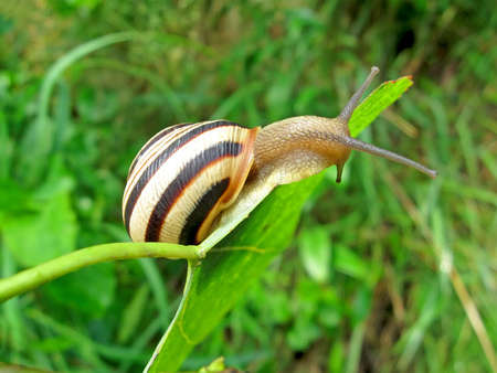 gastropoda:  one color snail (gastropoda mollusc) on green leaf, nature details