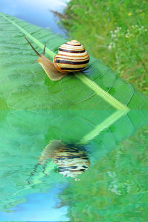 gastropoda: focus on center. one color snail (gastropoda mollusc) on green leaf and water, nature details