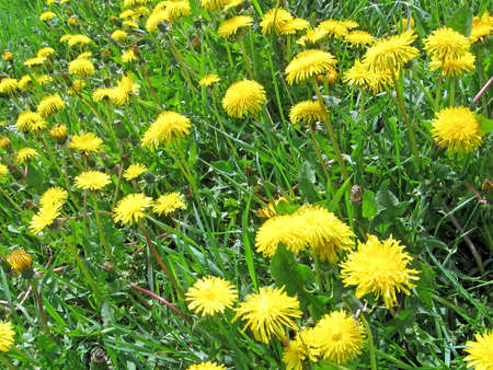 yellow dandelion and green grass, seasonal nature details Stock Photo - 12370812