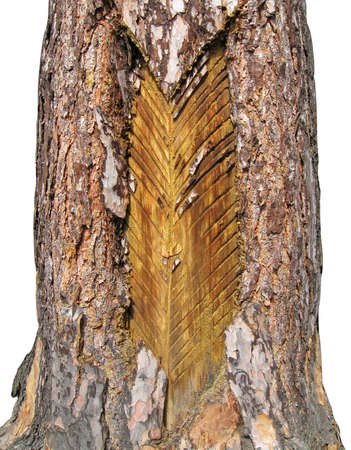 environmental issues: many totching on brown pine tree, new pitched environmental issues, forest natute concept Stock Photo